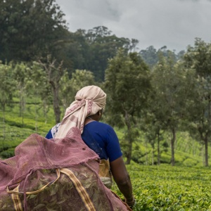 Mörka moln över teplantage